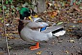 A male Mallard in breeding plumage