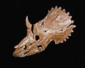 Skull of a juvenile Triceratops