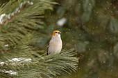 Pine grosbeak in northern Wisconsin