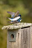 Tree swallows copulating
