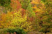 Northern Hardwood Autumn Foliage