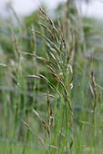 False oat-grass