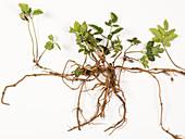 Ground elder & rhizomes