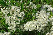 Pyracantha flowers
