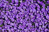 Aubretia flowers