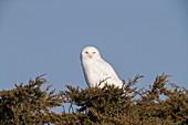 Snowy Owl, Nyctea scandiaca