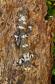 Common Flat-tail Gecko