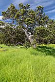 Ohi'a lehua (Metrosideros polymorpha), Hawaii