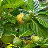 Noni (Morinda citrifolia), Hawaii