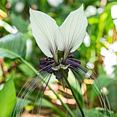 White batflower (Tacca integrifolia), Hawaii