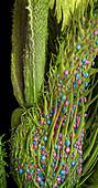 Marijuana Female Flower, SEM