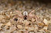 White Lady Spider