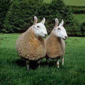 Border Leicester ewe & ram