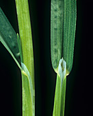 Rough stalked meadow-grass leaf ligule