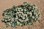 Sea kale in flower