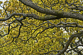 Oak branches & spring leaves