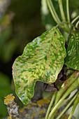 Pear leaf blister mite damage