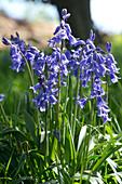 Spanish bluebells