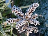 Frost on a Sempervivum