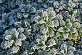 Frost on Aubrieta leaves