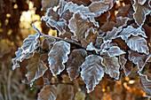 Frost on beech leaves