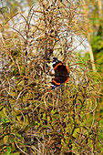 Red admiral in autumn