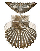Scallop Shell, Illustration