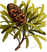 Early Banksia Fruit, Illustration