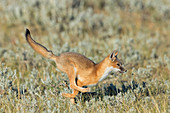 Swift Fox Juvenile Running