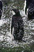 Moulting Penguin