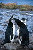 Courting Chinstrap Penguins