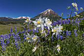 Lupine and Columbine in Meadow