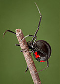 Latrodectus mactans, Black Widow Spider
