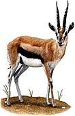 Thompsons Gazelle