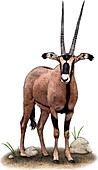 Fringe Eared Oryx