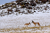 Male and Female Pronghorns