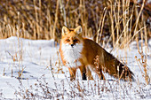 Vixen red fox