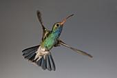 Broad-billed hummingbird in flight, high-speed photograph