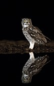 Spotted eagle owl reflection