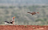 Yellow and red-billed hornbill conflict