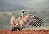 White-backed vulture sunning itself