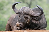 Cape Buffalo with Red-billed ox-pecker
