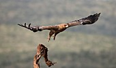 Tawny eagle taking off from a perch
