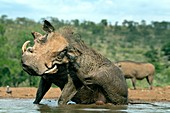 Warthog scratching whilst wallowing