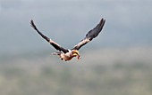 Southern yellow-billed hornbill in flight