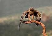 Tawny eagle threat display