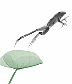 Frog jumping from a water lily pad, X-ray