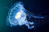 Egg-yolk jellyfish