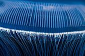 Aequorea crystal jellyfish tentacles