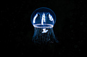 Eutonina indicans jellyfish